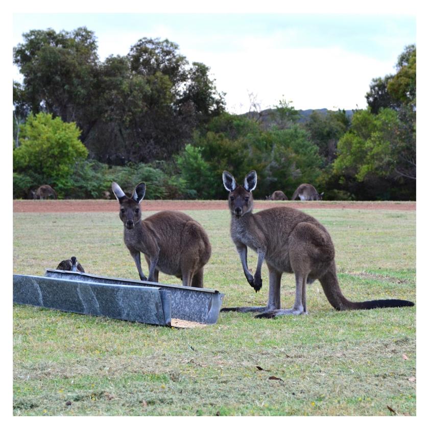 kenguru i Australia