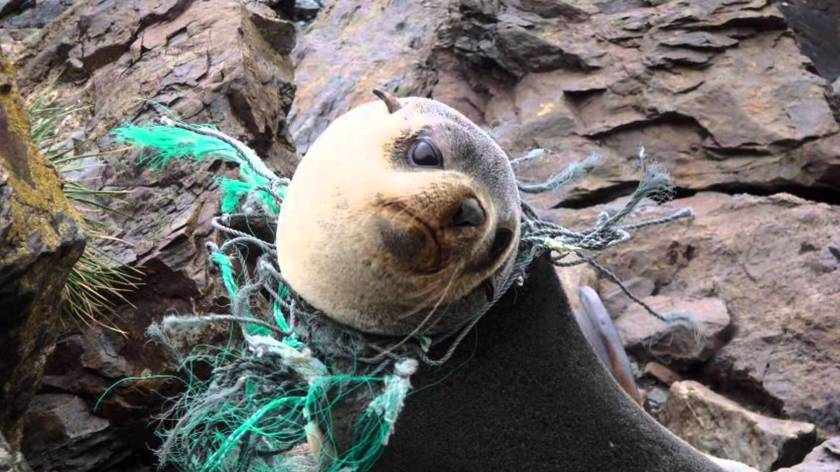 seal-plastic-in-the-ocean